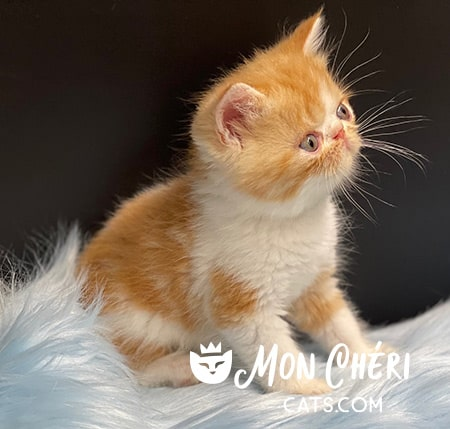 Exotic Shorthair Red BiColor Male Kitten for sale